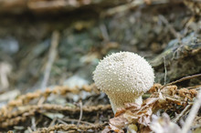 Common Puffball (Lycoperdon Pe...