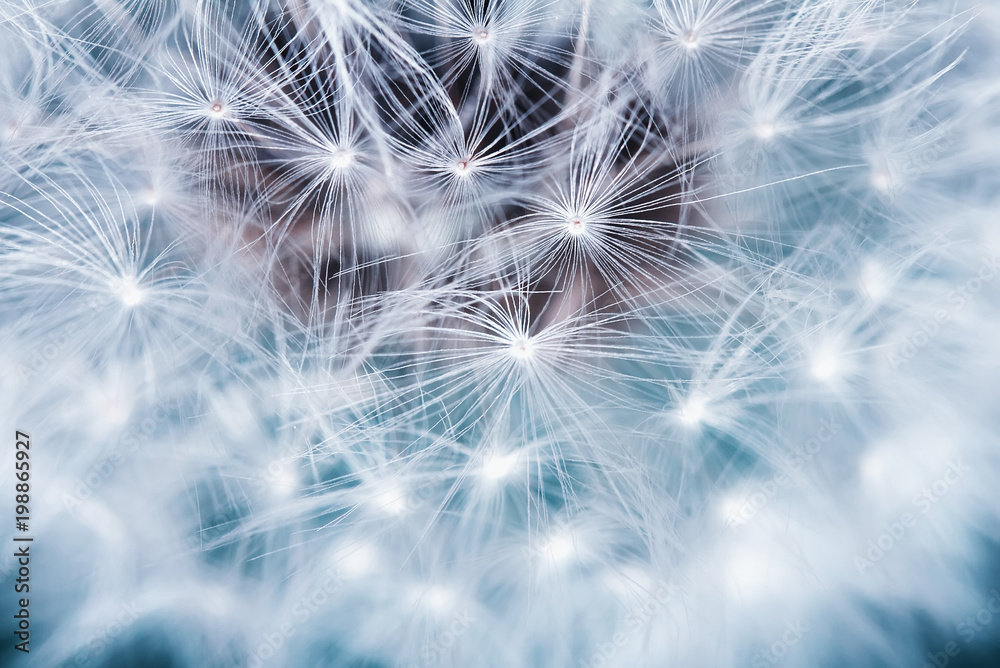 Fototapety, obrazy: natural background of airy light dandelion flower with white light seeds