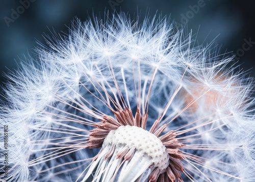 Foto auf Gartenposter Lowenzahn beautiful natural background of airy light dandelion flower with white light seeds on plant head