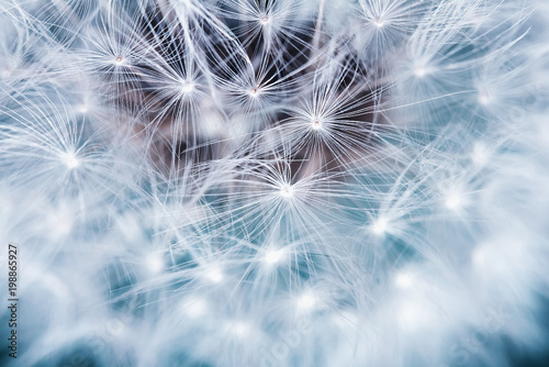 Poster Dandelion natural background of airy light dandelion flower with white light seeds