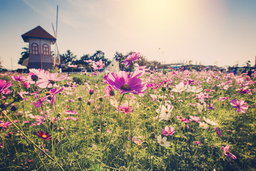 Fototapetafield cosmos flowre and sunset with vintage tone.