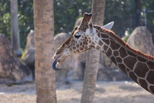 Funny Photo Of The Giraffe Wit...