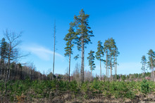 Logging Are With Young Pine Saplings