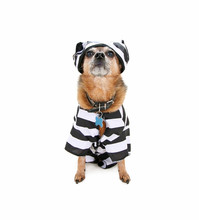 Cute Chihuahua Dressed Up As A...