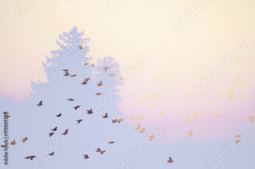 Fotografie, Obraz  double exposure of a flock of cedar and bohemian waxwings flying by pine trees t