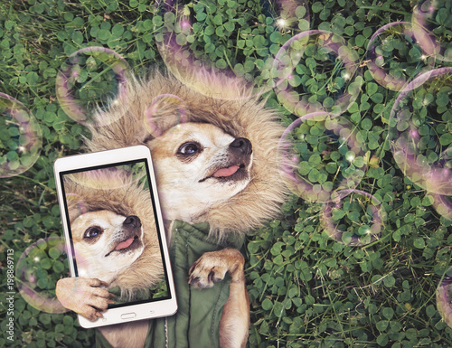 Foto op Plexiglas Retro cute chihuahua lying in green grass with clover wearing a fur like jacket hoodie looking at soap bubbles taking a selfie toned with a retro vintage instagram filter app or action effect