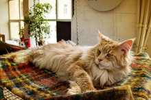 Maine Coon Exhibition