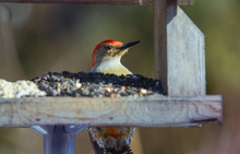 Red Bellied Male Woodpecker At...