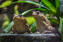 Two Cane Toads (giant Neotropi...