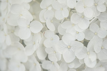 Closeup, Macro Of A Flower, White Hortensia, Hydrangea. Tender, Bright And Light