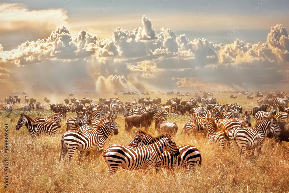 Fototapety, obrazy: African wild zebras and wildebeest in the African savanna against a background of cumulus thunderclouds and the setting sun. Wild nature of Tanzania. Artistic natural image.