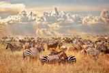 Fototapeta Sawanna - African wild zebras and wildebeest in the African savanna against a background of cumulus thunderclouds and the setting sun. Wild nature of Tanzania. Artistic natural image.