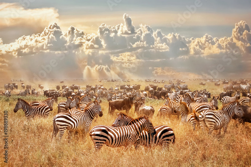 Poster de jardin Zebra African wild zebras and wildebeest in the African savanna against a background of cumulus thunderclouds and the setting sun. Wild nature of Tanzania. Artistic natural image.