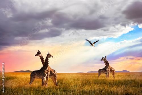 Group of giraffes and Marabou stork in the Serengeti National Park. Sunset background.