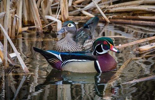 Photo Nesting wood ducks