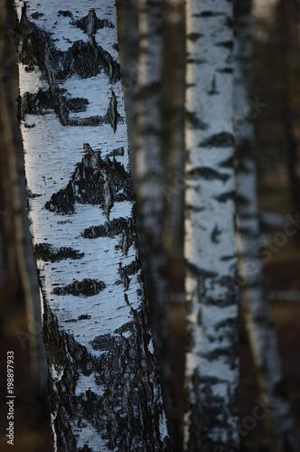 Papiers peints Bosquet de bouleaux Birch Tree Grove Trunks Bark Closeup Background, Large Detailed Vertical Birches Landscape Scene, Rural Spring Season, Wild Forest Trees Trunk Group Vivid Detail, Village Country Woods, Countryside