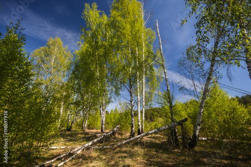 Fototapeta Spring birch forest. obraz na płótnie