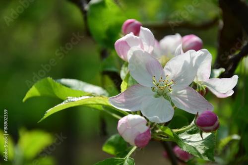 Apfelblüte in Südtirol, Kartenmotiv