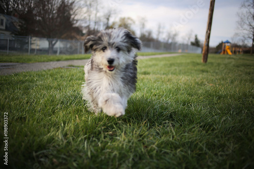 Photo 6 Month Old Blue Merle Mini Aussiedoodle Puppy