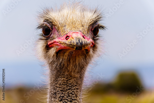 Staande foto Struisvogel Close up of an Ostrich Head at an Ostrich Farm in Oudtshoorn in the semi desert Little Karoo Region Western Cape Province of South Africa