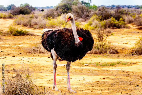 Male Ostrich at an Ostrich Farm in Oudtshoorn in the semi desert Little Karoo Region Western Cape Province of South Africa