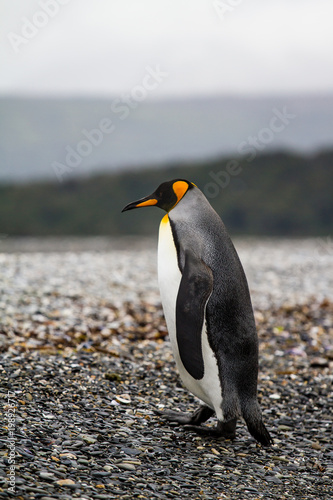 In de dag Pinguin king penguin, Aptenodytes patagonicus, walking on rocky gravel beach in Isla Martillo, Ushuaia, Patagonia