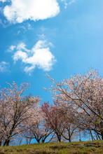 Cherry Blossom Of Nagara Dam I...