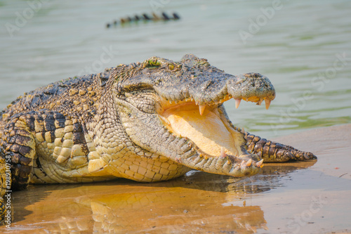 Tuinposter Krokodil Crocodile in the farm is eating fresh food.