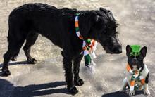 Black Irish Wolfhound In An Ir...