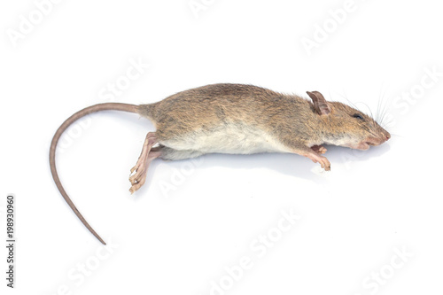 Dead rat on a white background