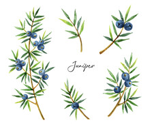 Watercolor Set Plants Juniper ...