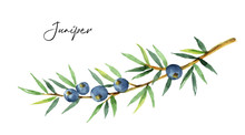 Watercolor Plants Juniper Isol...