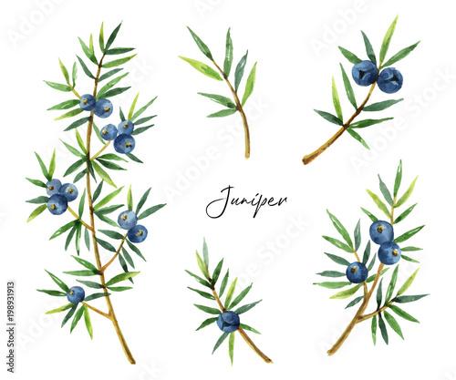 Fototapeta Watercolor set plants juniper isolated on white background. obraz