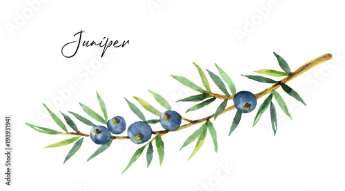 Fototapeta Watercolor plants juniper isolated on white background. obraz