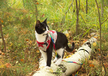 A Domestic Cat In Clothes, Wal...