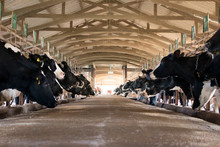 Dairy Cattle Farming, Feeding ...