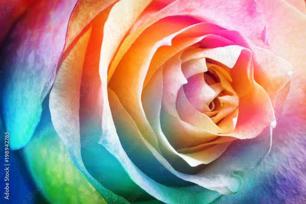 Fototapeta Piękna wielokolorowa róża - obraz na płótnie