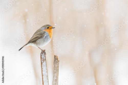 Fotografie, Obraz  Rotkehlchen auf einem Schilfansitz im Winter