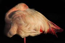 Pink Flamingo Close-up