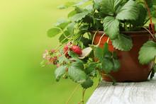 Alpine Strawberry Plant In Pot...