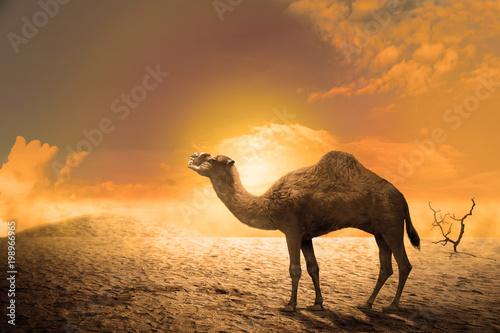 Deurstickers Kameel Camel on the sand dunes at sunset