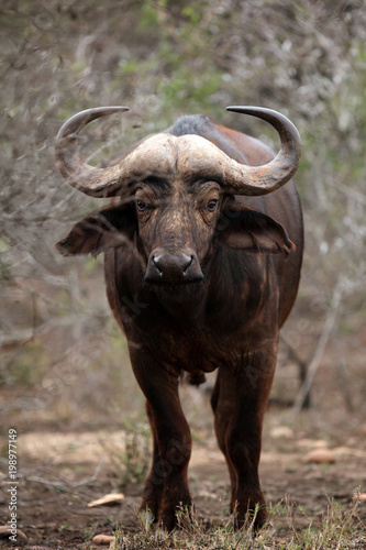 Poster Buffel The African buffalo or Cape buffalo (Syncerus caffer) is hiding in thickets - a dangerous situation while walking through the bush
