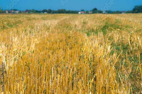Fotografía  поле пшеница зерно сбор жатва урожай уборка сено солома