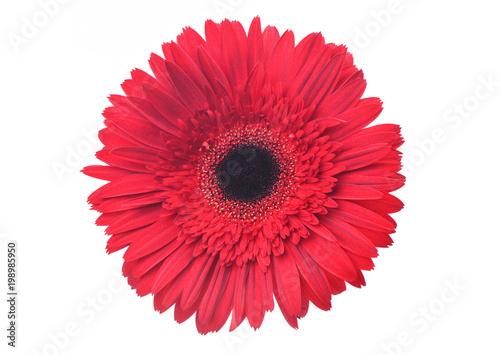 Staande foto Gerbera Gerbera flower