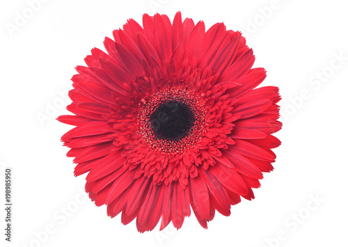 Spoed Foto op Canvas Gerbera Gerbera flower