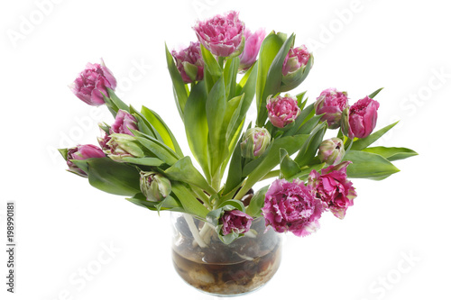 Foto op Canvas Madeliefjes Lilac tulips with bulbs isolated on white background.