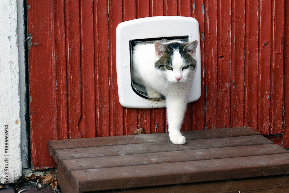 Fototapeta Domestic cat using cat flap and comes out independently.