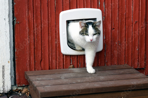 Leinwand Poster Domestic cat using cat flap and comes out independently.