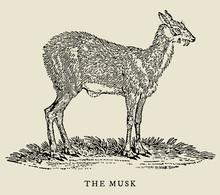 The Musk Or Siberian Musk Deer...