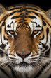 canvas print picture - Close up of a Siberian tiger (Panthera tigris altaica).
